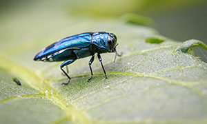 The Emerald Ash Borer in Colorado
