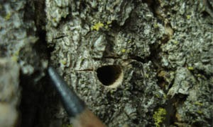 Emerald ash borer damage in Colorado