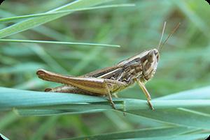 grasshopper-round