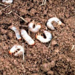 grubs_large