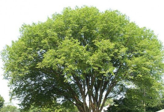 Planting and Maintaining an Elm Tree